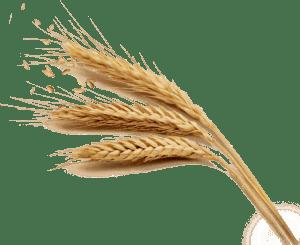 Durum Búza termelő - GrainPlus